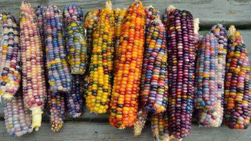 Epi de maïs multicolore_6